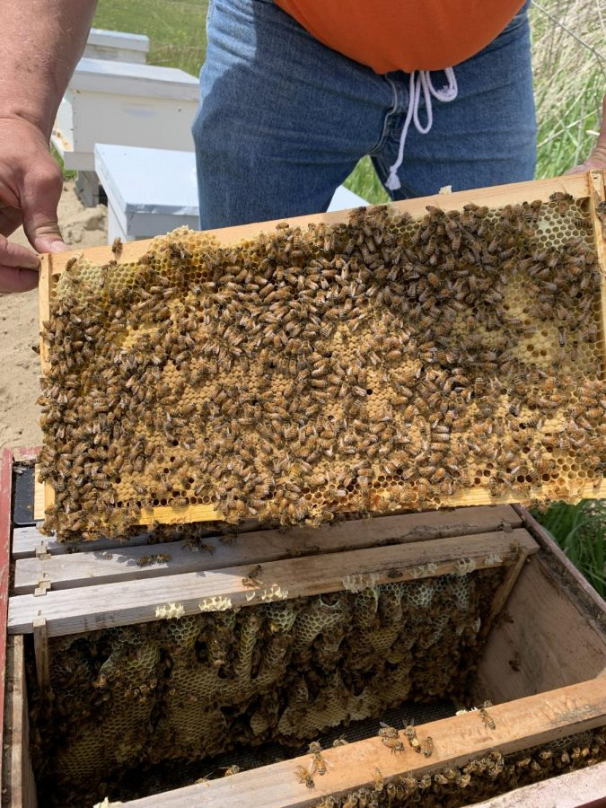 Busy Bees: During the summer months beehives are occupied with collecting pollen, taking care of their larva and making honey.